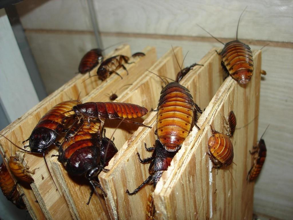 Photo Credit: Thomas Dykstra Madagascar Hissing Cockroaches